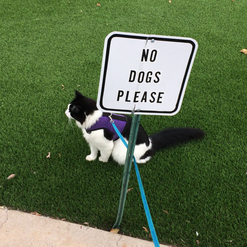 "A fluffy black and white cat on a leash sitting on grass, behind a sign that says ""no dogs please."""