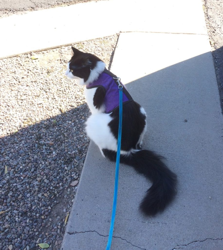 A fluffy cat in a purple harness and leash sitting on the pavement, looking to the left of the camera.