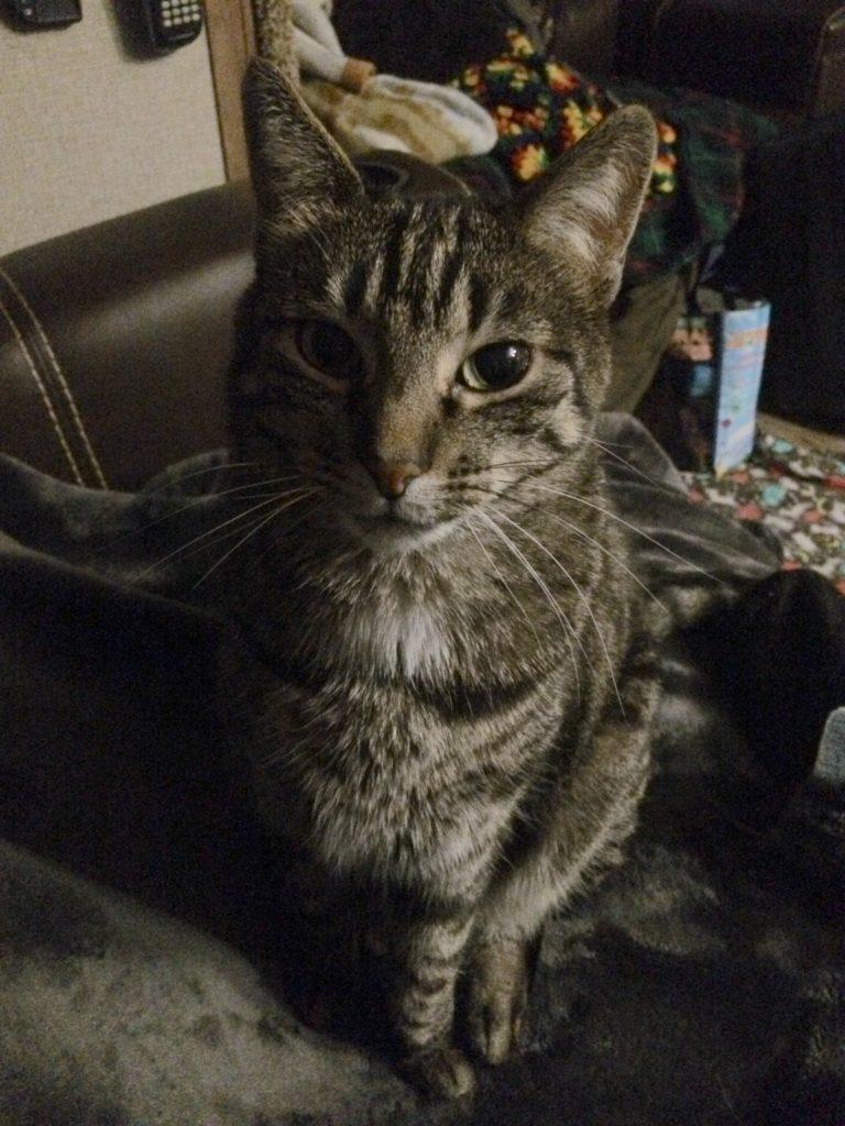 A black and gray tabby softly staring at the camera.