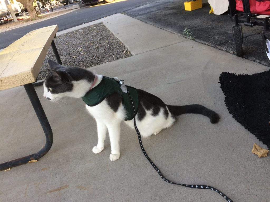 A black and gray cat in a green harness sitting on the ground with his neck stretched out VERY far and his eyes VERY wide.