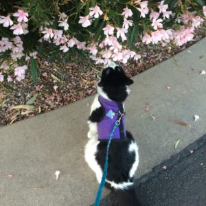 A very fluffy black and white cat in a purple harness sitting on the ground beneat a flowering bush, sniffing the flowers.