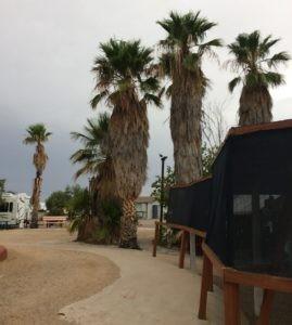 Three very shaggy palm trees.