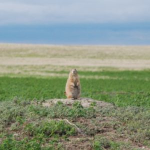 a prairie dog sitting on a small sandy mound, looking at the camera, with a blue sky in the background.