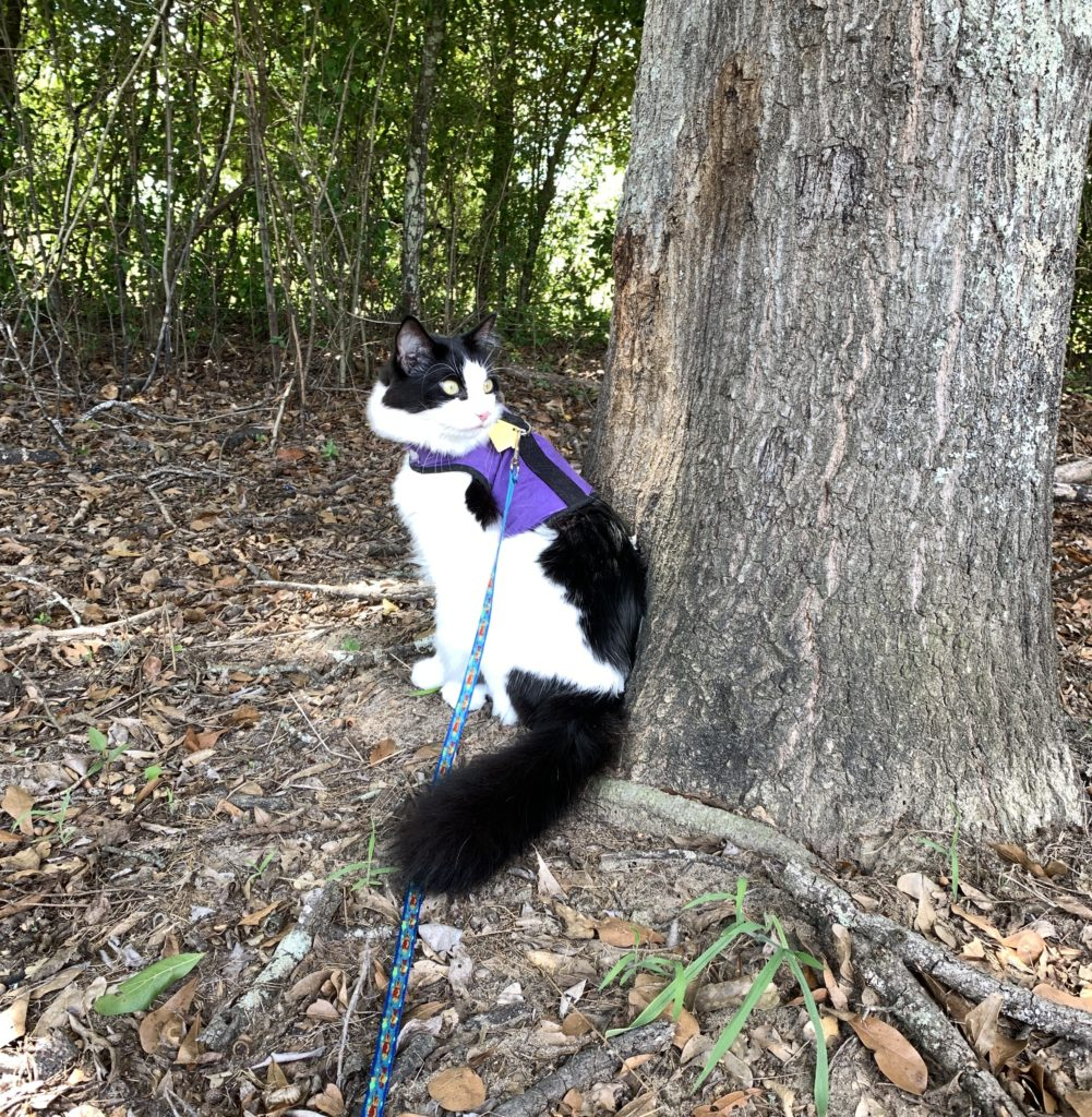 a fluffy cat in a harness sitting next to a big tree.