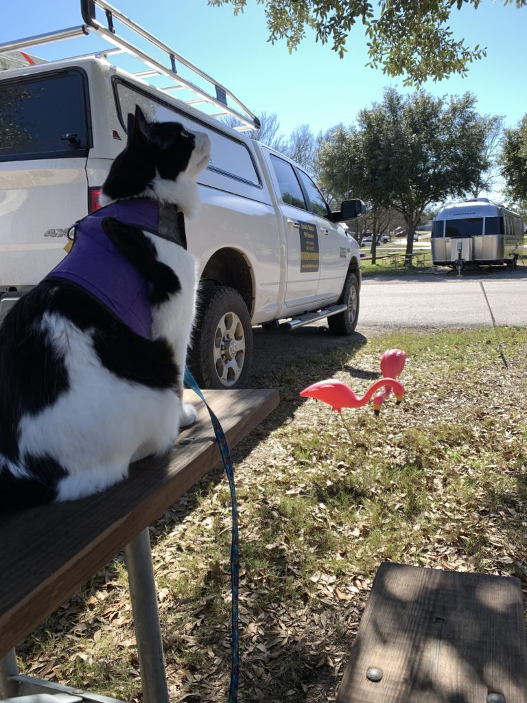 photo of a fluffy cat in a harness sitting on a picnic table, looking up at a tree. a white pickup truck is in the background.