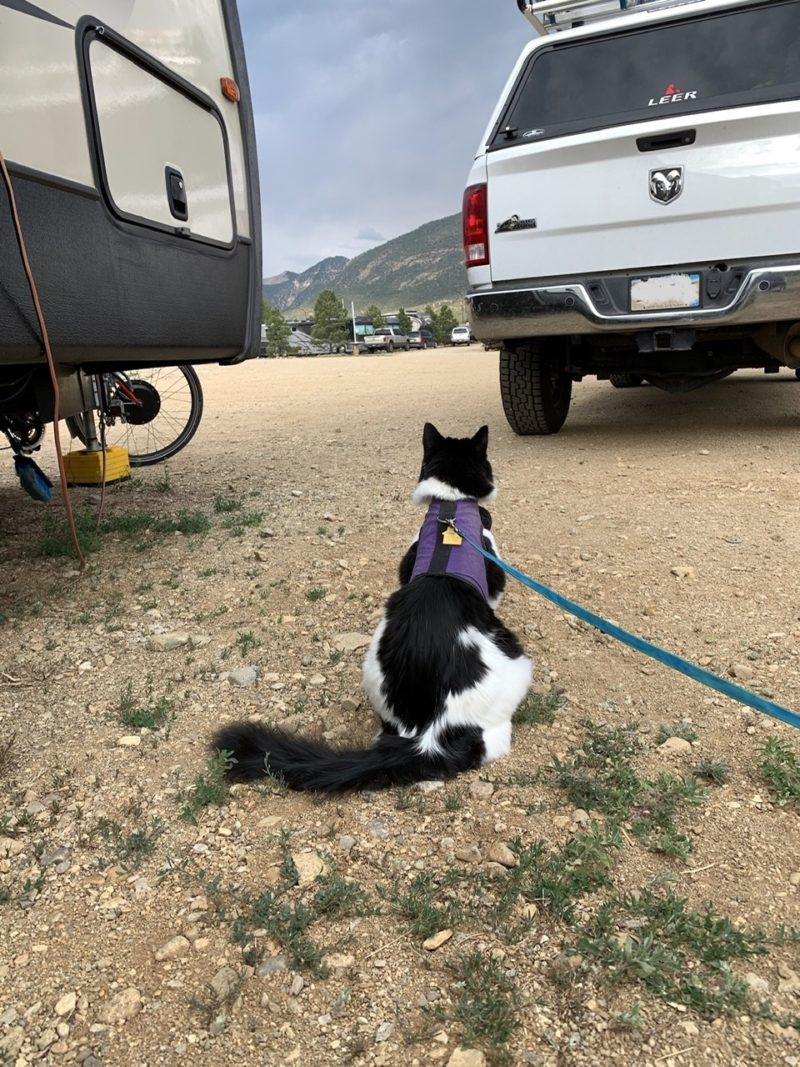 a fluffy cat in a harness sitting on the ground, looking up between an rv and a pickup truck.