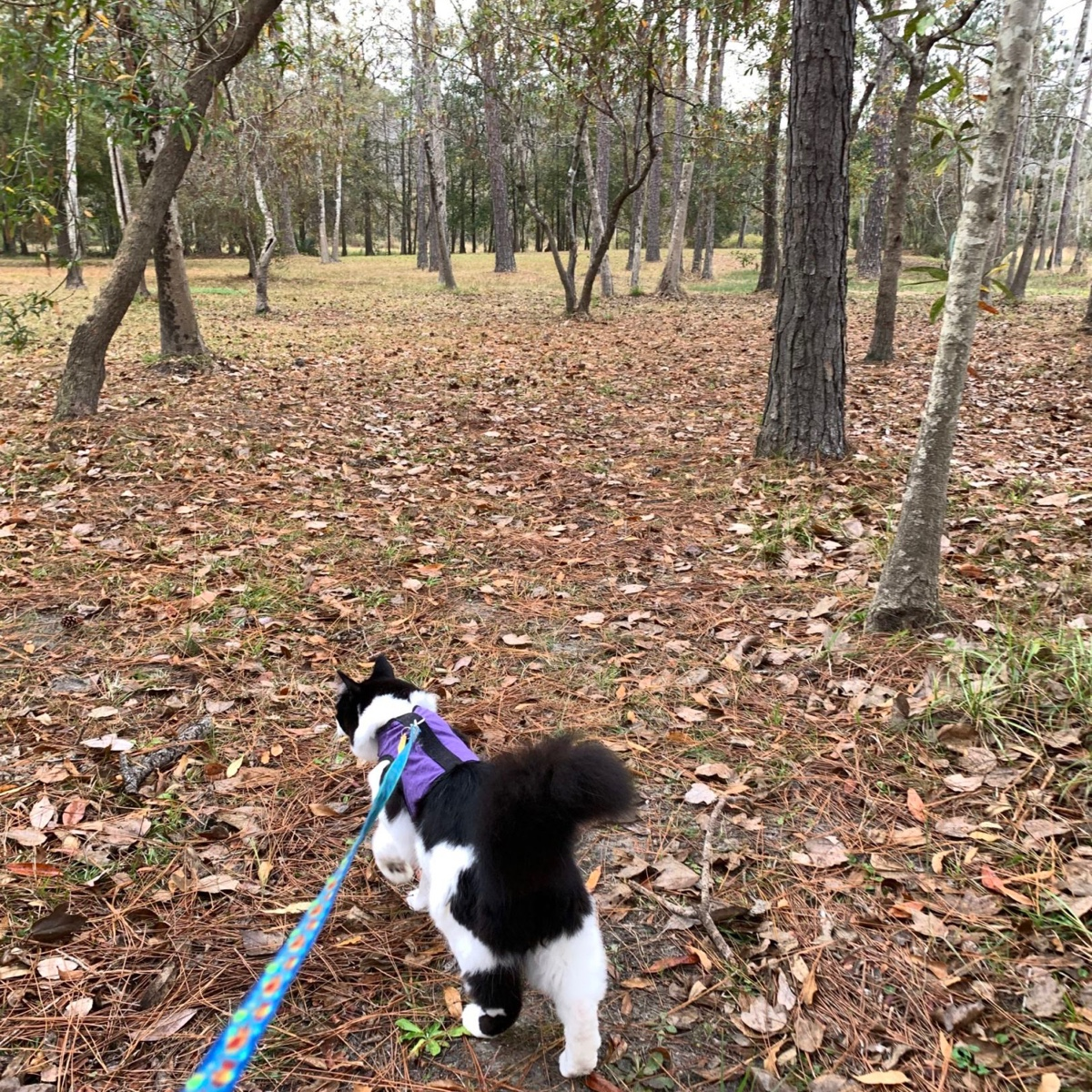 a cat on a leash walking into a forest of trees.
