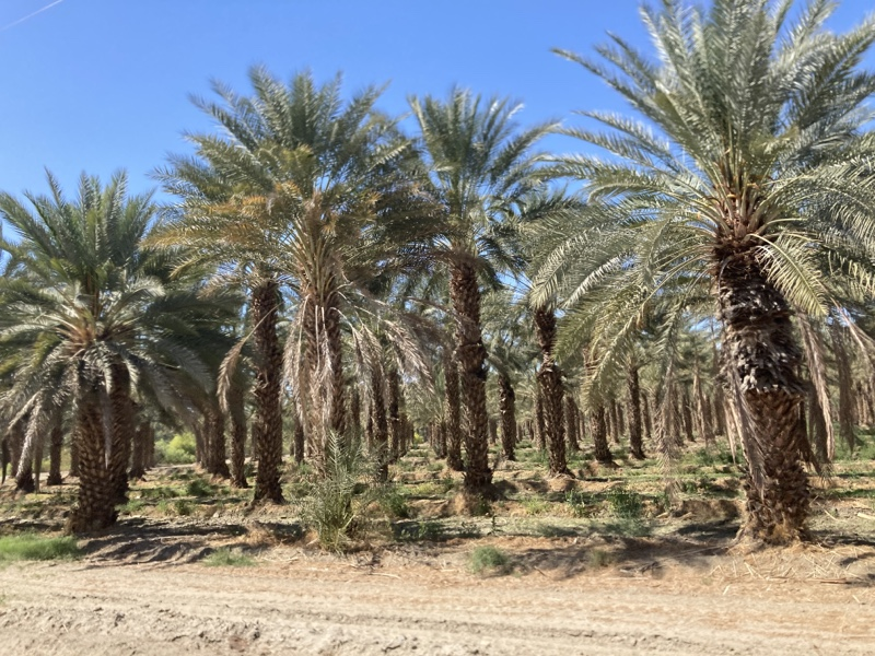Rows of very large palm trees with fluffy tops and a blue sky