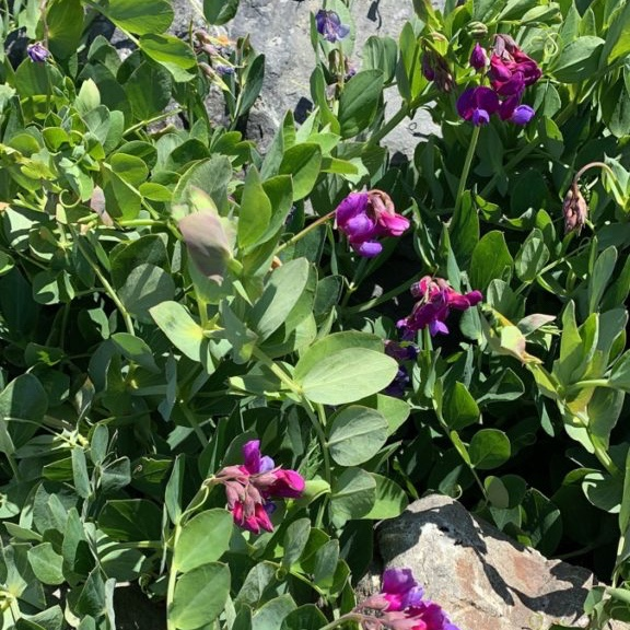 Small purple flowers with many round green leaves.