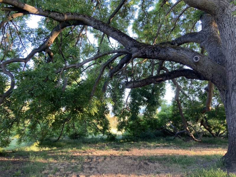 A large walnut tree with its branches touching the ground, creating a cozy grove